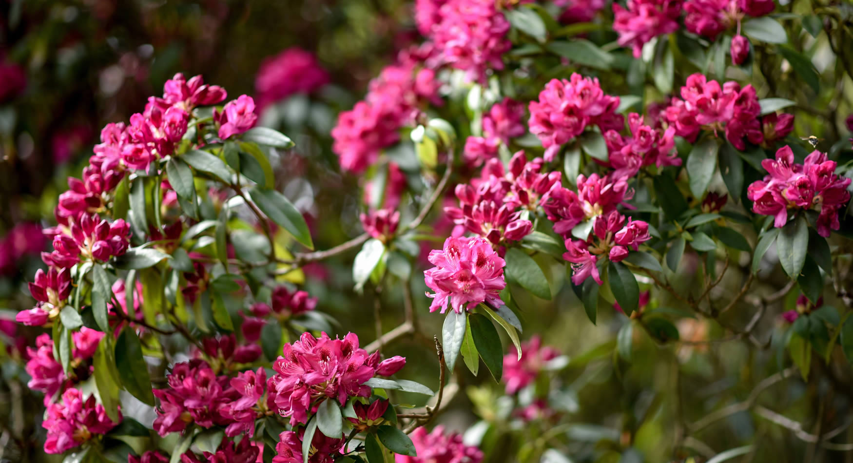 Riot of Rhododendrons