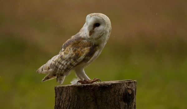 Mulberry the Barm Owl