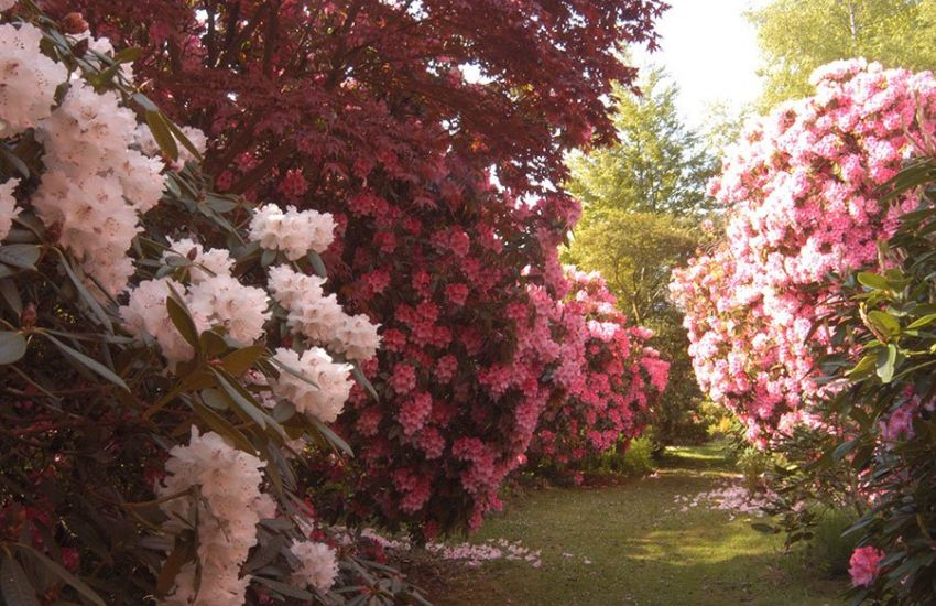 Riot-of-Rhododendrons