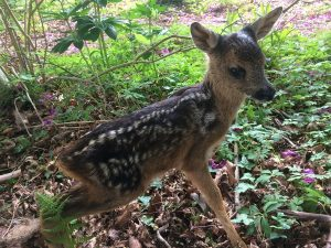Twiggy roe dee fawn at 1 day old