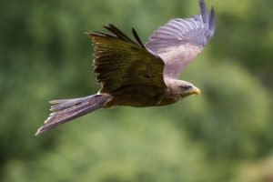 Yellow-billed kite in flight