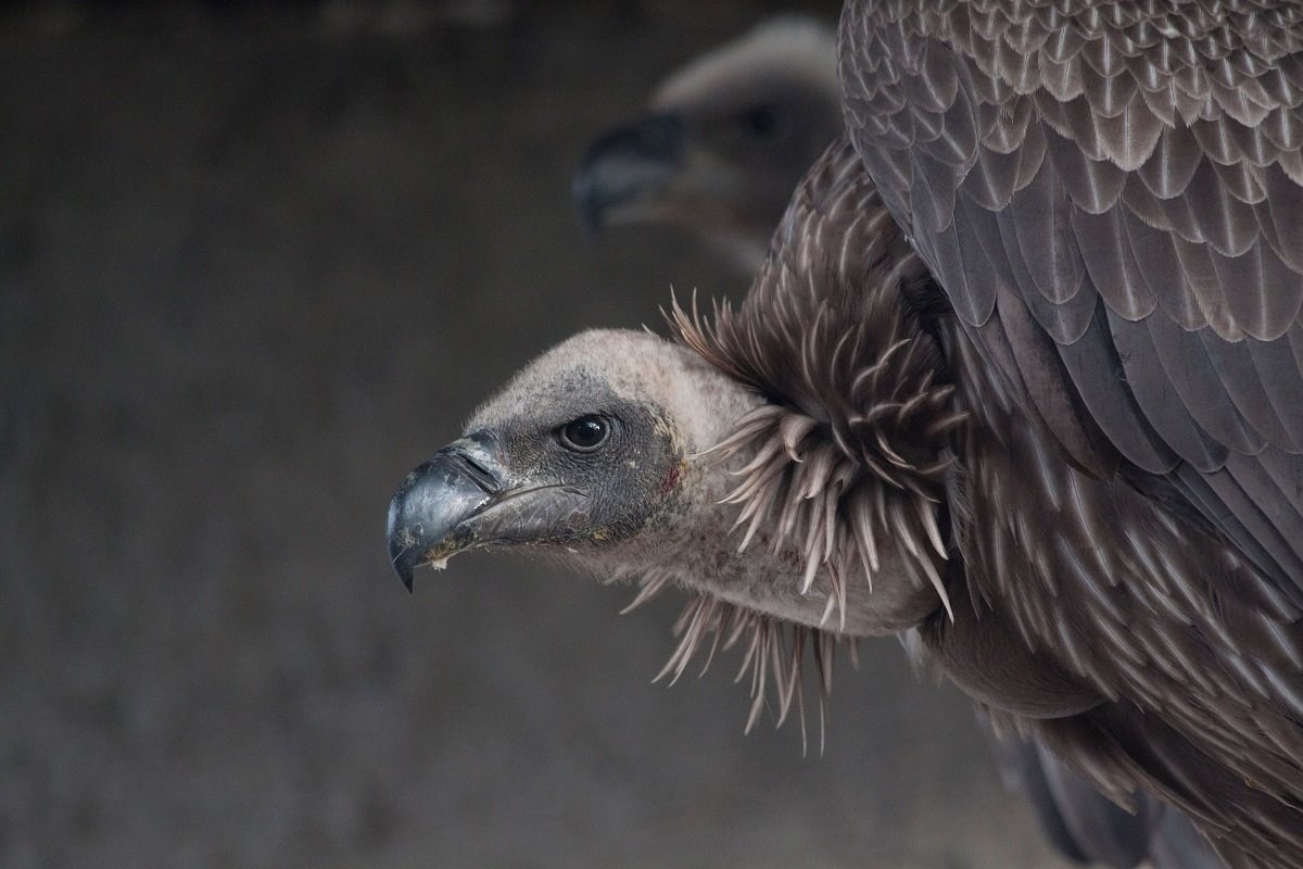 African white backed vultures - SL
