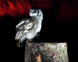 Halloween Twilight Owls at Muncaster