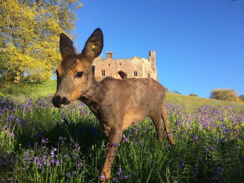 Twiggy the deer and castle