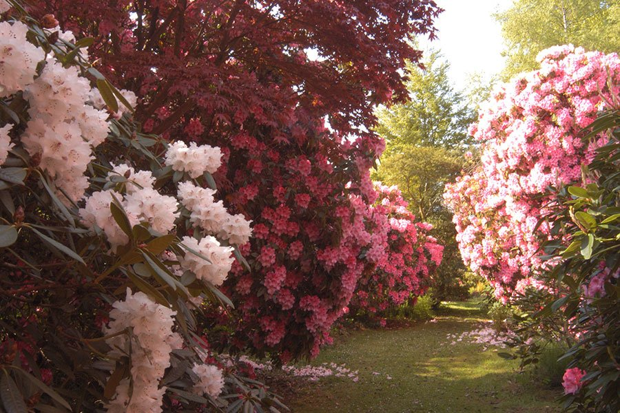 Riot of Rhododendron colour