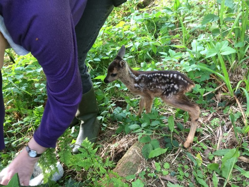 Twiggy the roe fawn