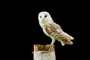 barn-owl-perched-hct