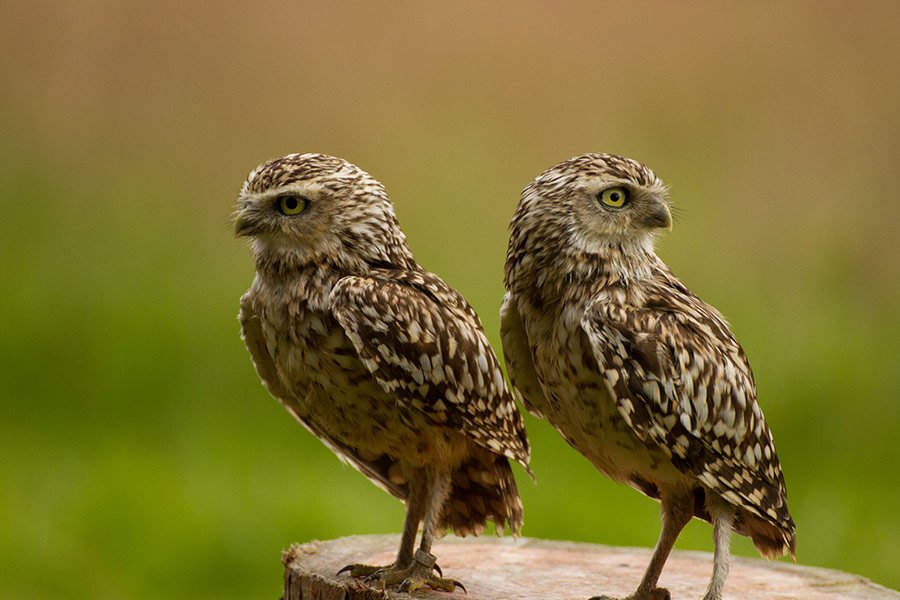 birds burrowing owls