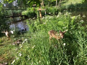 Twiggy the roe deer fawn