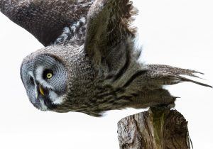 Volunteering with the Hawk & Owl Centre