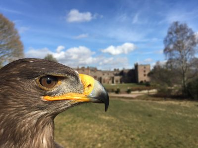 Herriot the bird of prey in the sun