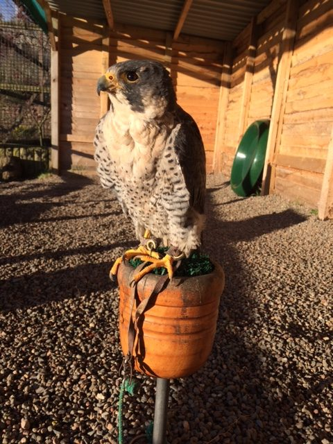 Hawk and Owl Centre January 2017