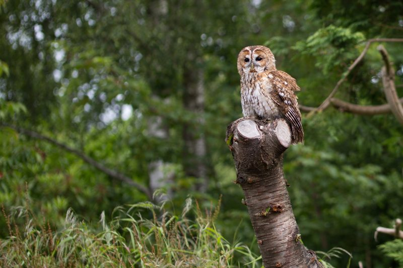 Owl on tree stump