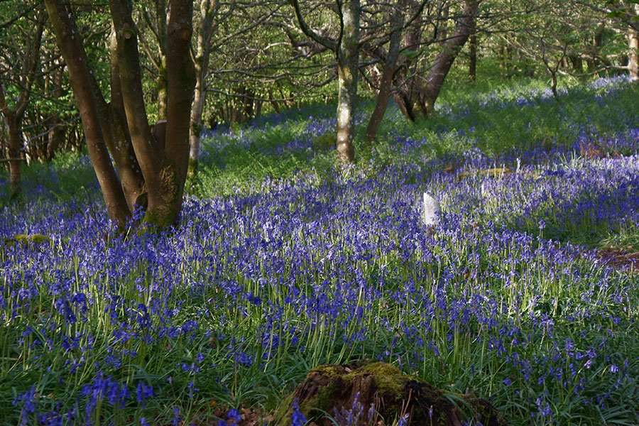 Carpet of Bluebell flowers among the trees
