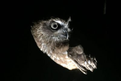 Owl flying at night
