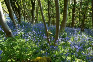 woodland-bluebell-walk
