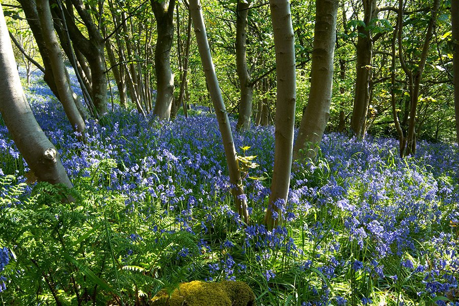 Bluebells in the ancient woodlands