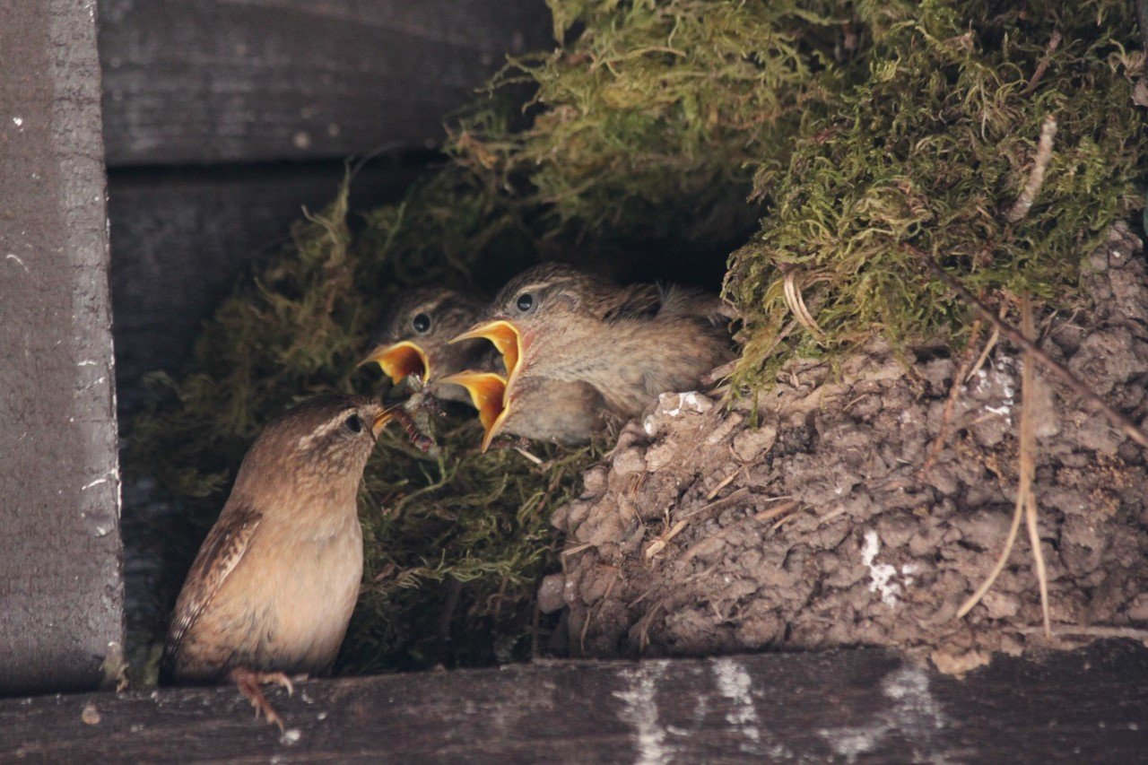 wren feeding her chicks