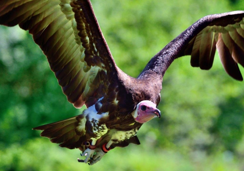 Mighty Mite vulture flying by Chris Hoyle vulture conservation