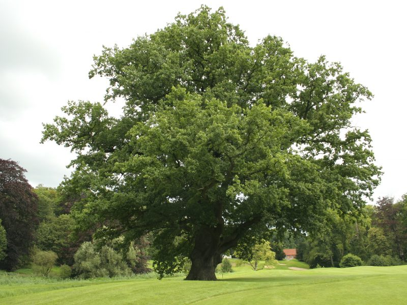 Old oak tree in the grounds